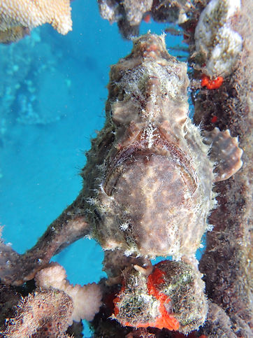 Scuba with frogfish
