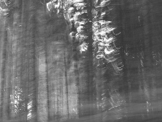 pine trees #5