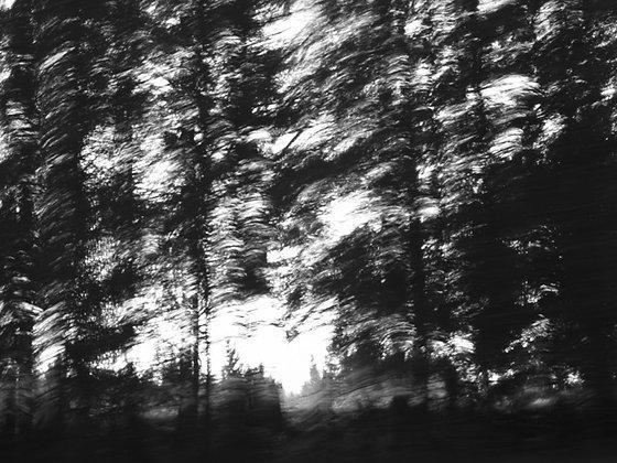 pine trees #2