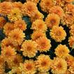 Chrysanthemums (Mums)