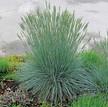 Fescue Grass