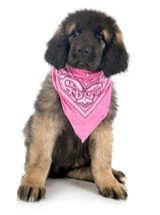 Puppy in pink bandana for breast cancer awareness month