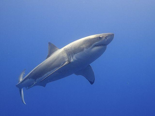 Great_White_Shark_(14730796397)