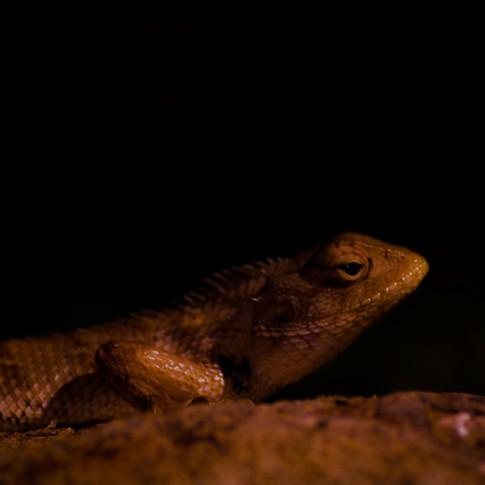 The popular myth around fascinating Indian chameleon in Sasan Gir