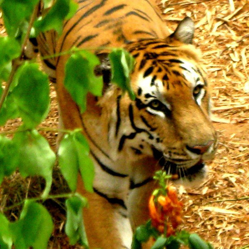 Lock your eyes and get transfixed by Royal Bengal Tiger, one of the most iconic species ever roamed on this planet