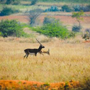 Sojourn at Jayamangali Blackbuck Conservation Reserve