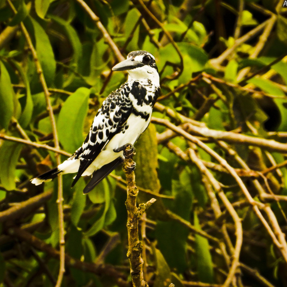 A spectacular Pied Kingfisher, one of my favourite birds to observe, admire and photograph