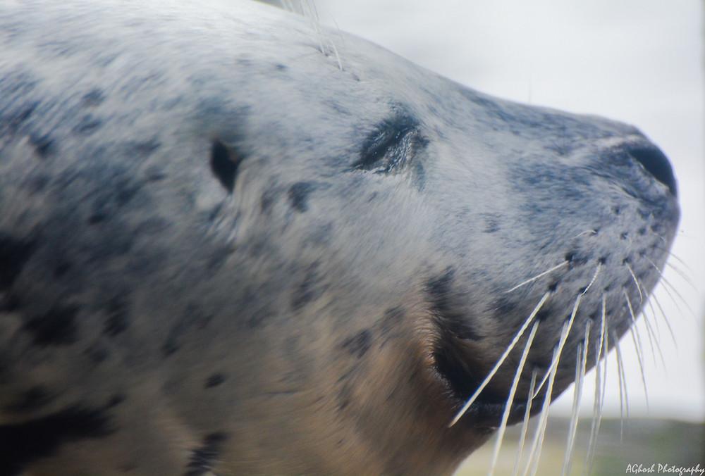 Silver Harbor Seal or True Seal