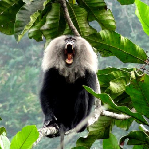 My unforgettable encounter with the Old World bearded primate, Lion-tailed Macaque
