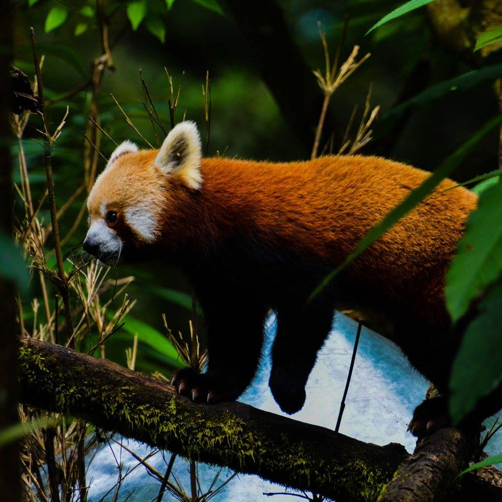 Do you know that Red Pandas are vegetarian carnivore?