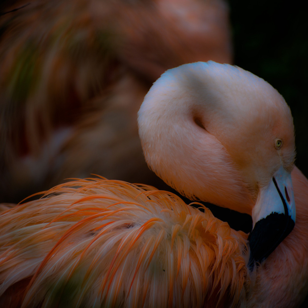 """""""A bird is three things: Feathers, flight and song. And feathers are the least of these.""""   Nobody said this who saw a flamingo!"""