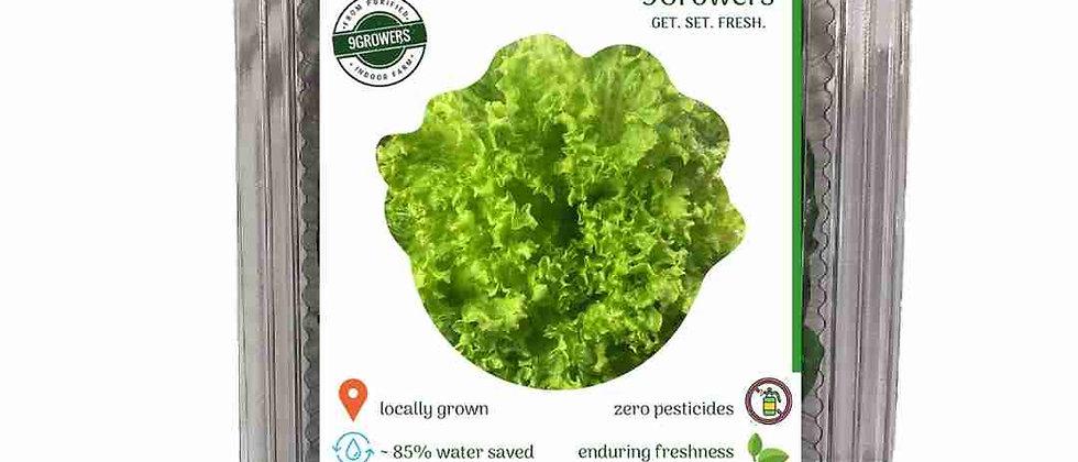 Lollo Rosso (Curly) Lettuce
