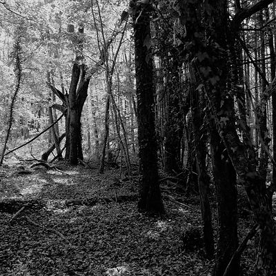 The chestnut forest #16