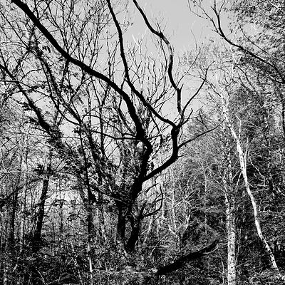 The chestnut forest #1