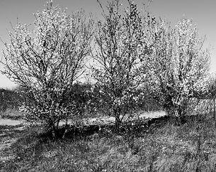 3 arbres en fleur