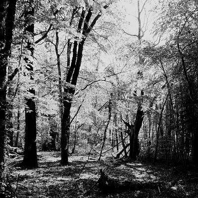 The chestnut forest #21