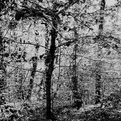 The chestnut forest #4