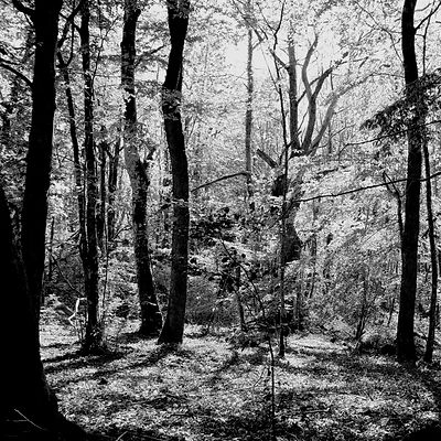 The chestnut forest #15
