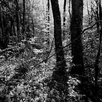 The chestnut forest #5
