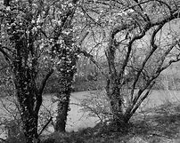 trees in spring along the river