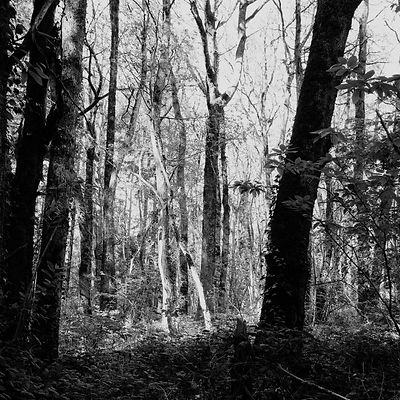 The chestnut forest #19