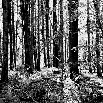 The chestnut forest #6