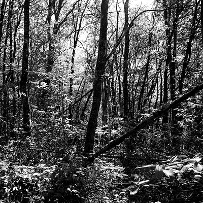 The chestnut forest #8