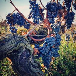 work wine harvest