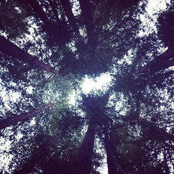 Circle of redwood life in the Russian River Valley, taken during my road trip this past weekend up n