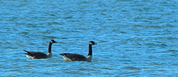 Corrotoman Geese