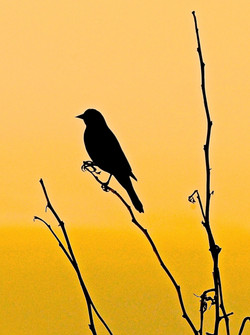 Redwing at Dusk