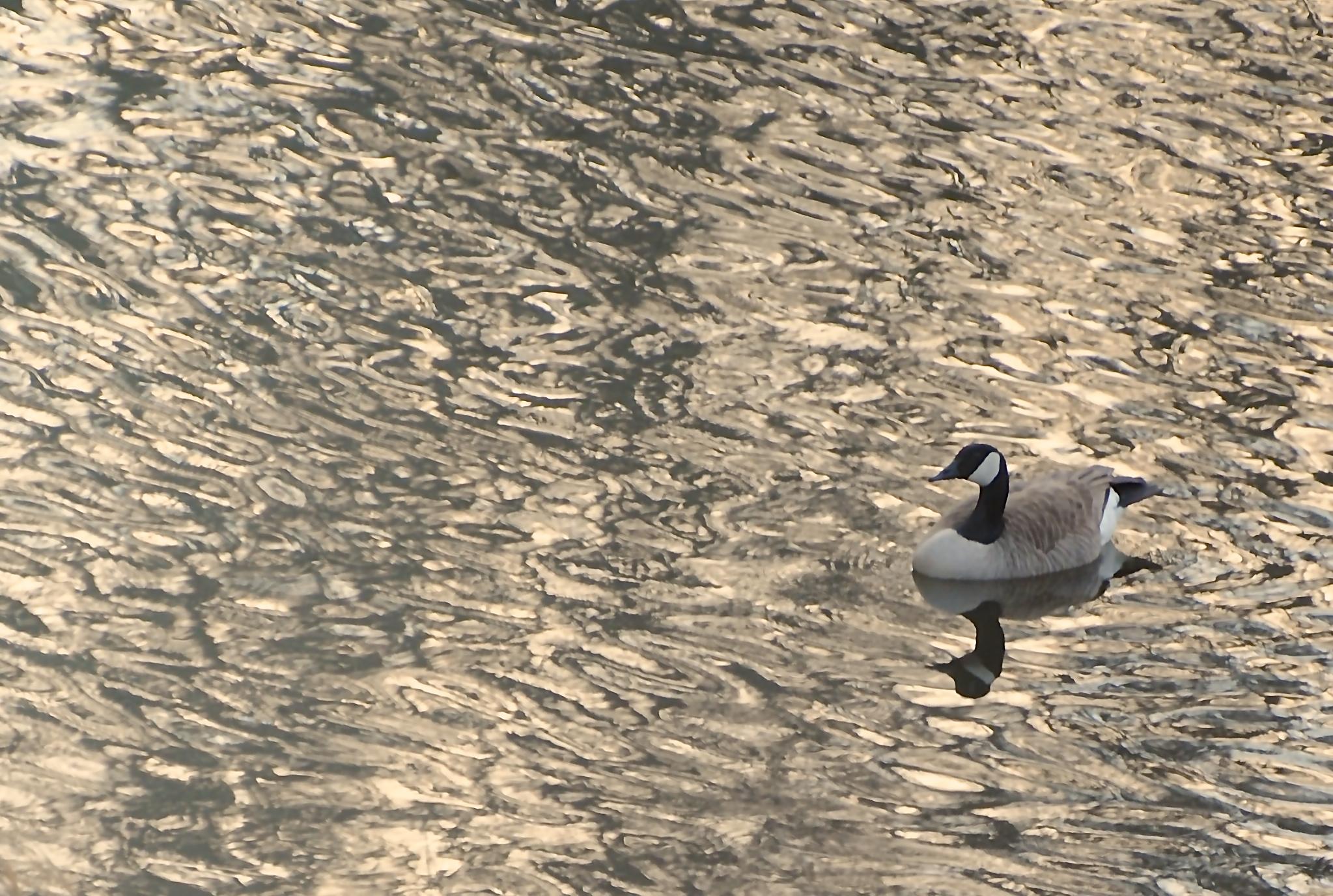 Merry Point Goose