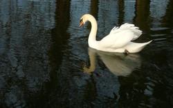 Devil's Bottom Swan