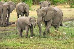 elephant herdjpg