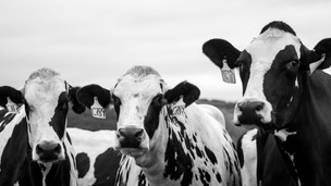 Agriculture - Dairy