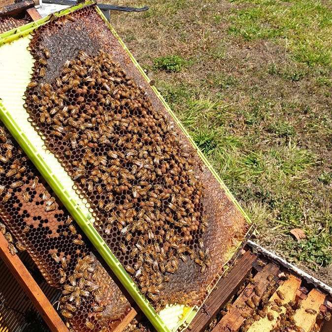 mackay beekeeping beehive healthy brood