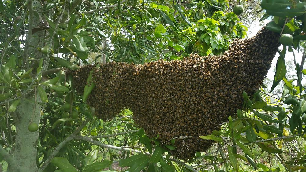 Swarm of bees, Mackay beekeeping swarm removal.