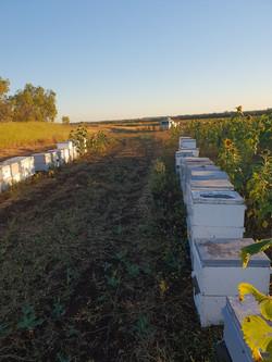 Beekeping in Mackay, Queensland.