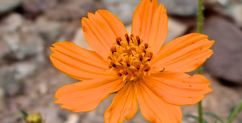 Orange Cosmos Seed, Cosmos sulphureus