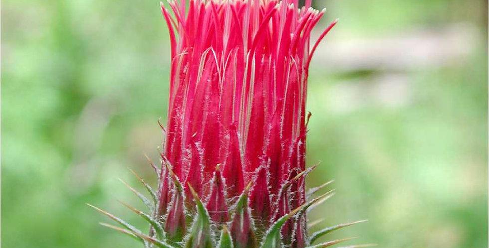 Arizona Thistle, Cirsium arizonicum