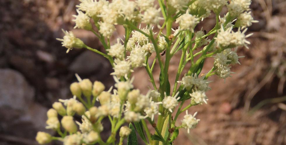 Seep Willow, Baccharis salicifolia