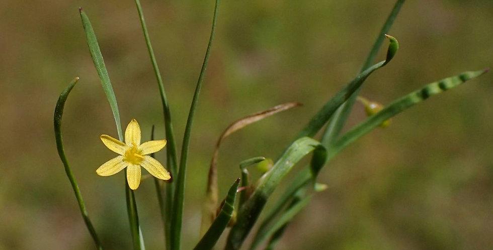 Timberland Blued-Eyed Grass, Sisyrinchium longipes