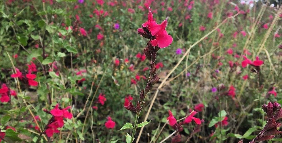 Lemmon's Sage, Salvia lemmonii