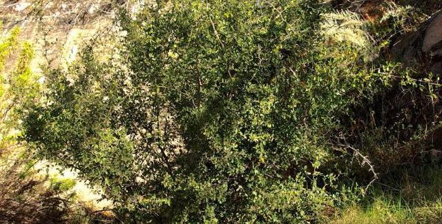 Desert Hackberry, Celtis pallida