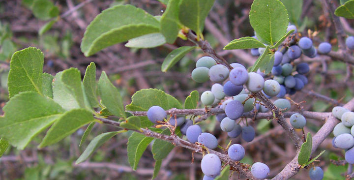 Desert Olive, Forestiera pubescens