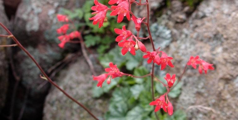 Coral Bells, Heuchera sanguinea