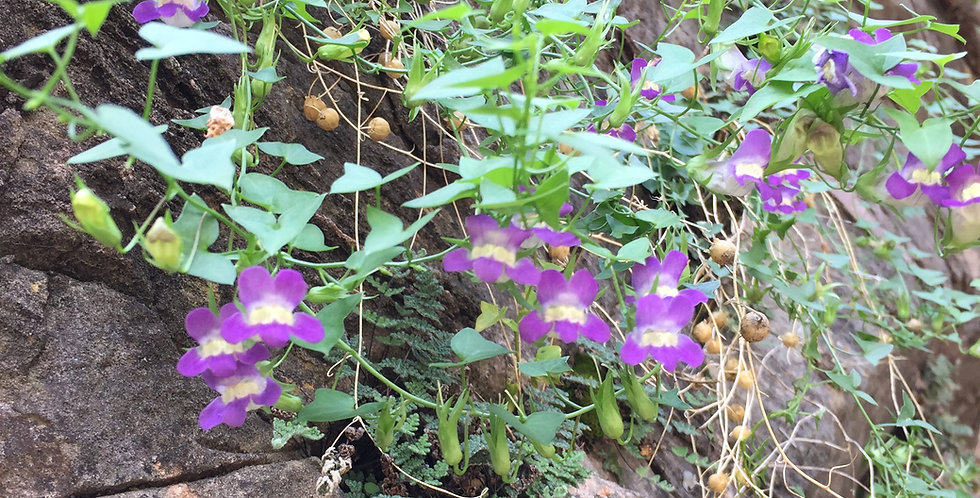 Climbing Snapdragon Seed, Maurandya antirrhiniflora