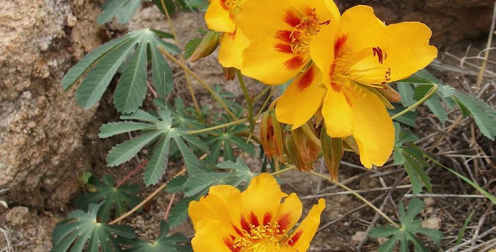 Mexican Yellowshow Seed, Amoreuxia palmatifida