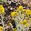 Thumbnail: Rubber Rabbitbrush Seed, Ericameria nauseosa