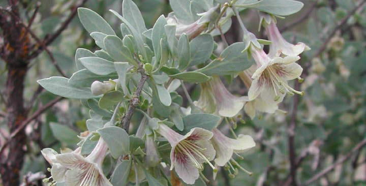 Pale Wolfberry, Lycium pallidum